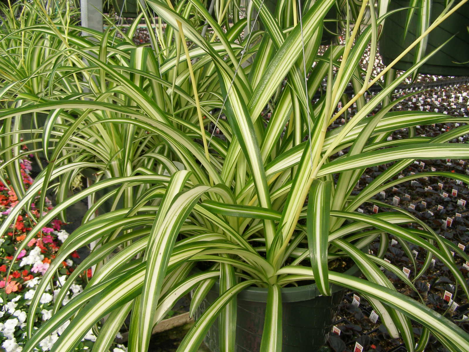 Spider Plant The Tree Center