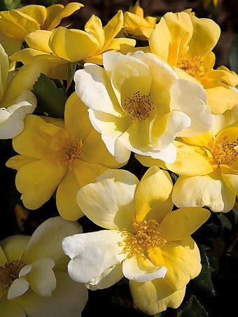Sunny Knockout Rose