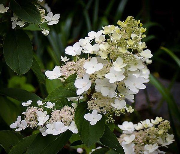 Tardiva White Hydrangea Flower