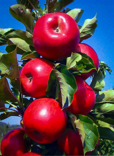 Tasty Red Urban Apple Tree