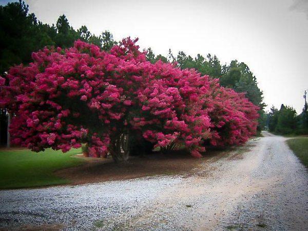 Group of Tuscarora Crape Myrtle Trees