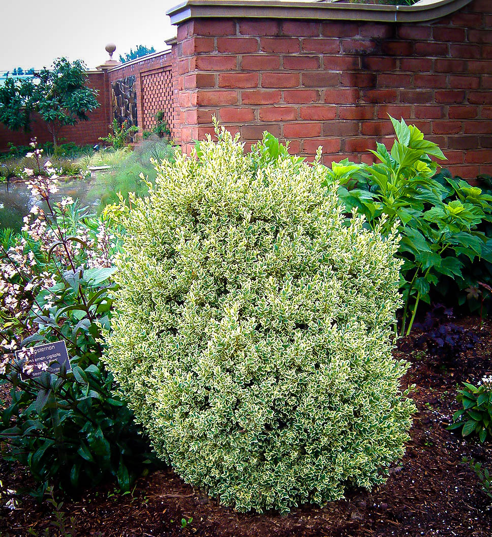Variegated Boxwood Shrubs For Sale Online The Tree Center