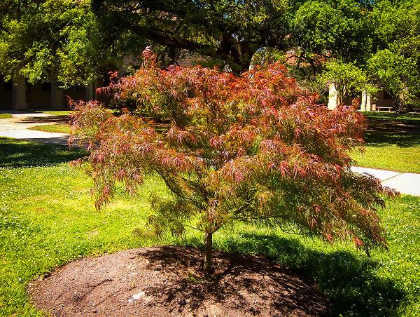 Villa Taranto Japanese Maple Tree