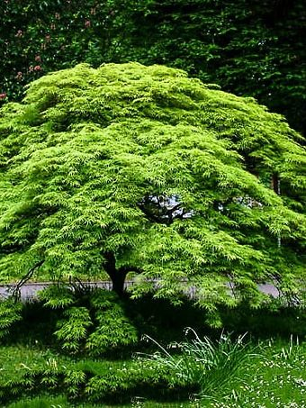 Weeping Japanese Viridis Laceleaf Maple