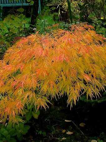 Beautiful Waterfall Japanese Maple Tree