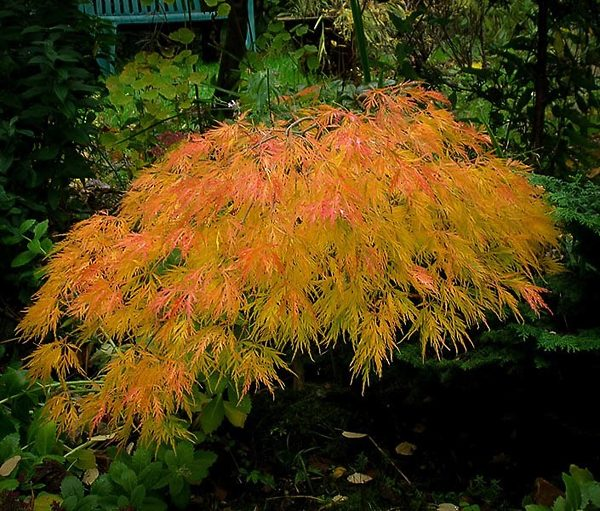 Beautiful Waterfall Japanese Maple Tree