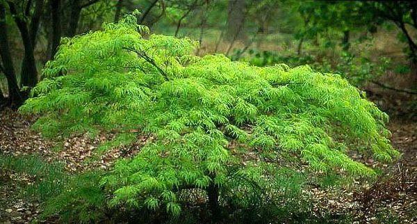 Waterfall Japanese Maple