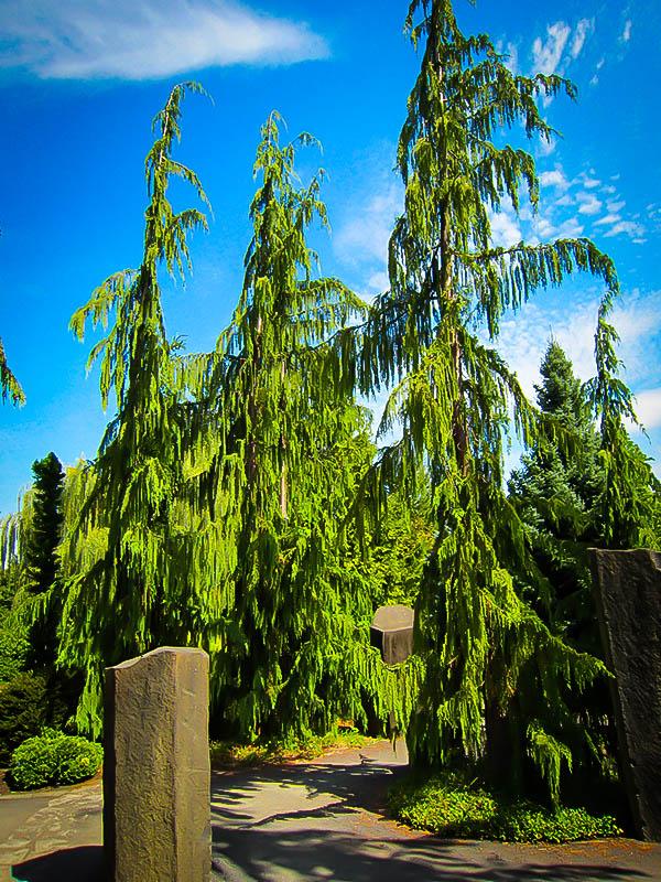 Weeping Alaskan Cedar
