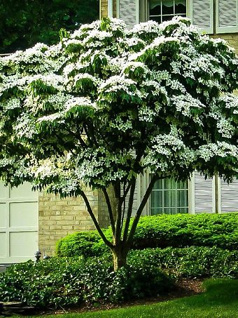 White Kousa Dogwood Tree