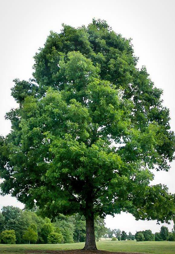 White Oak Tree In Field