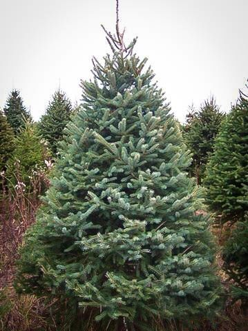 White Spruce For Sale | The Tree Center