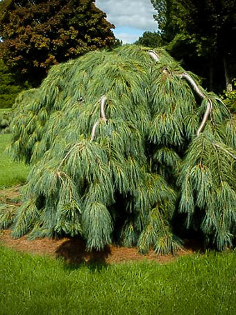 White Weeping Pine Tree