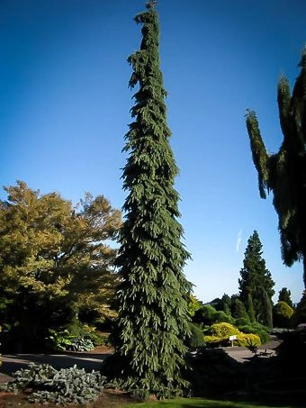 White Weeping Spruce Tree