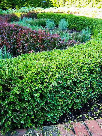 Wintergreen Korean Boxwood