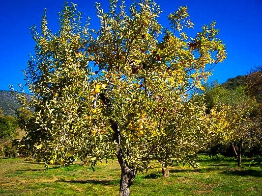 Yellow Golden Delicious Apple Tree Mature