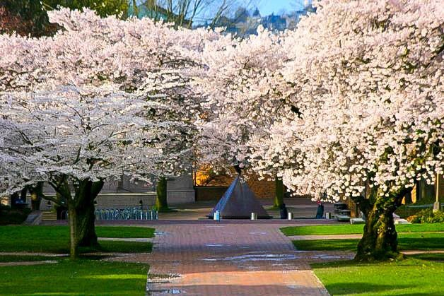 Time To Plant A Cherry Blossom Tree The Tree Center