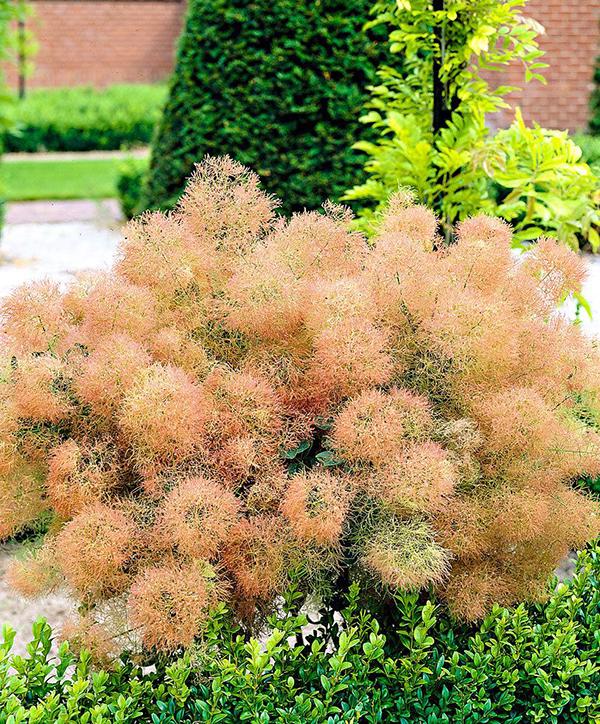 - Live Plant Trade Gallon Pot Young Lady Pink Smokebush Tree cotinus