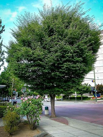 Zelkova Tree