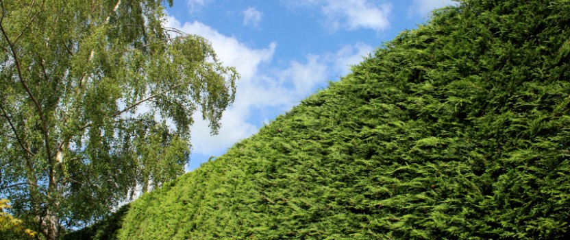 Leyland Cypress – The Best Privacy Tree?