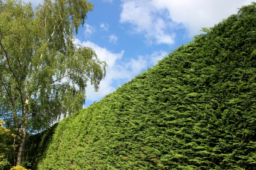 Leyland cypress trees for sale the tree center for Trees for sale