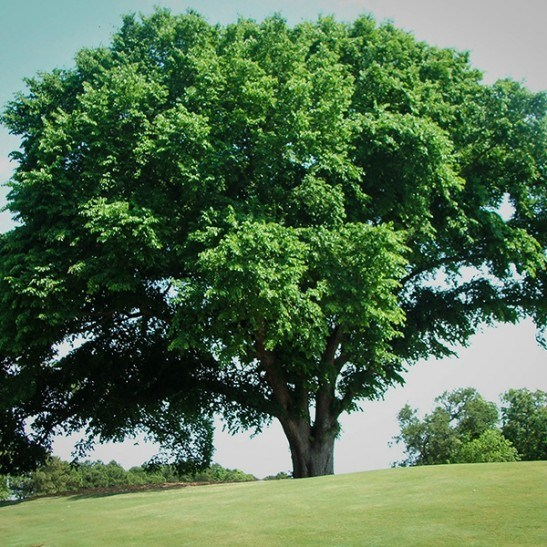 American Elm Tree For Sale The Tree Center