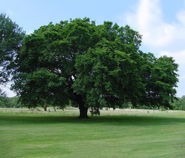 Elm tree images reverse search for American elm