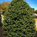 Untrimmed American Holly