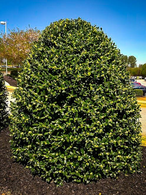 American Holly For Sale The Tree Center