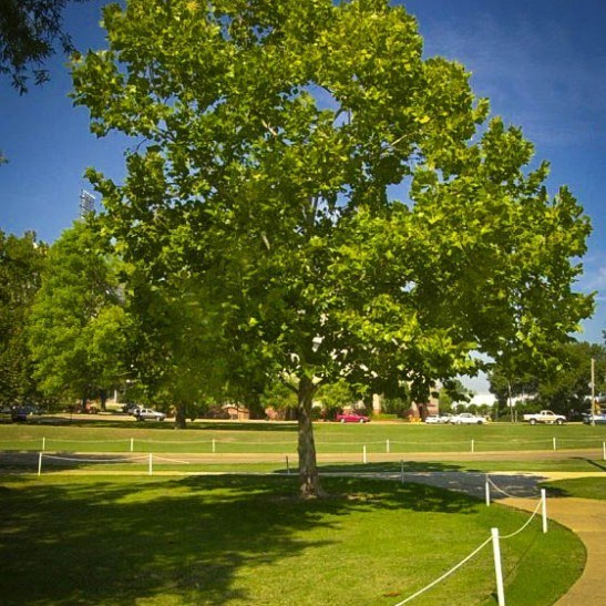 American Sycamore For Sale | The Tree Center™