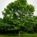 American Sycamore near edge of forest