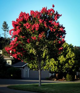 Arapaho Crape Myrtle in Bloom
