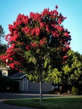 pink velour crape myrtle for sale online the tree center