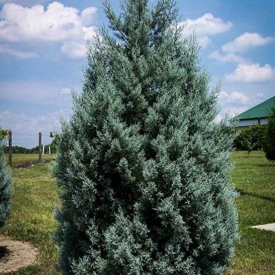 Arizona Cypress Drought Tolerant The Tree Center