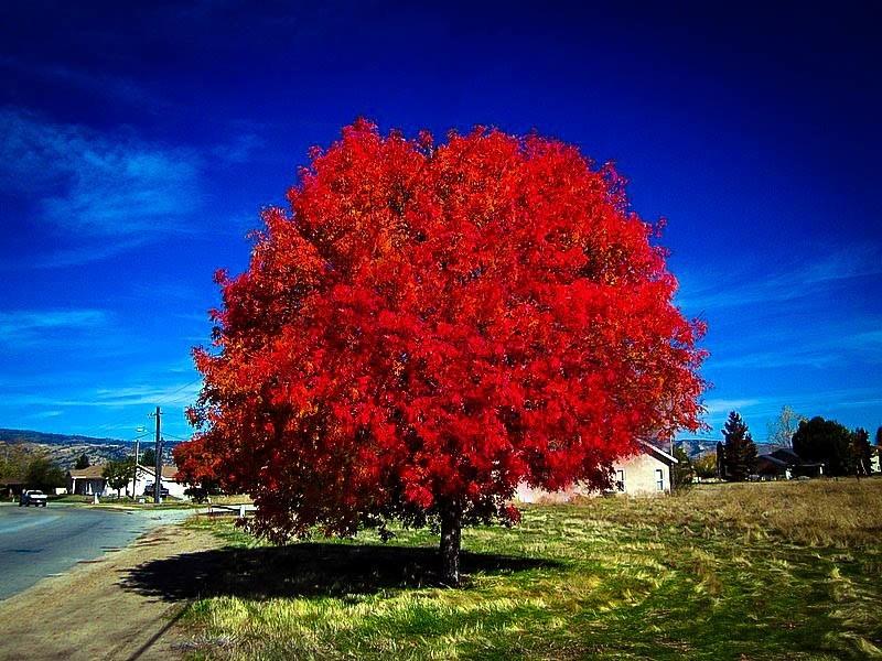 Autumn Blaze Maple The Tree Center