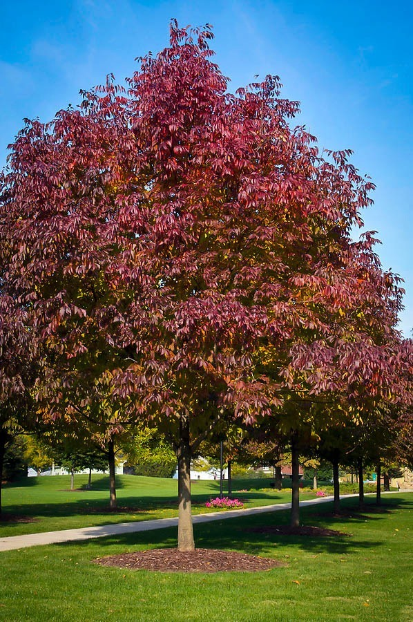Buy Autumn Purple Ash Tree The Tree Center