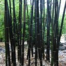 Black Bamboo Stalks