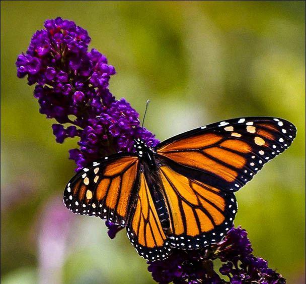 Black Knight Butterfly Bush The Tree Center