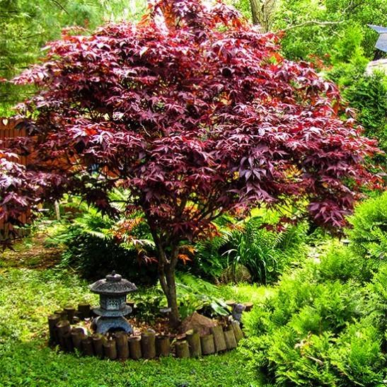 Bloodgood Japanese Maple The Tree Center