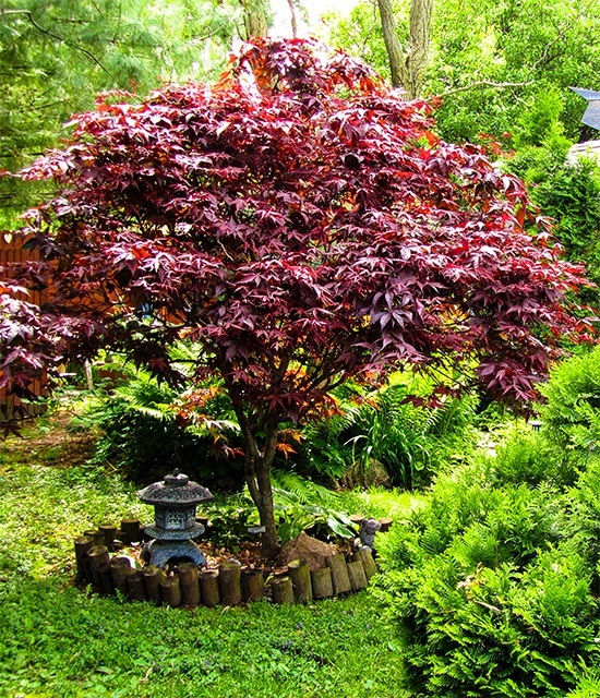 Dwarf bloodgood japanese maple images for Maple trees for sale