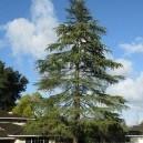 Cedar Deodar Tree