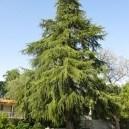 A massive Cedar Deodar tree.