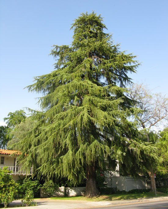 Cedar Deodar For Sale Online | The Tree Center