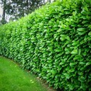 Cherry English Laurel Mature Hedge