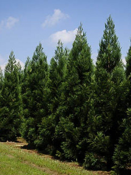 evergreen privacy trees for sale  the tree center™, Natural flower