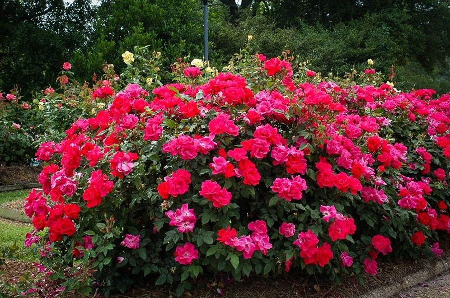 Red Double Knockout Rose For Sale Online The Tree Center