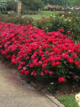 Red Double Knockout Rose