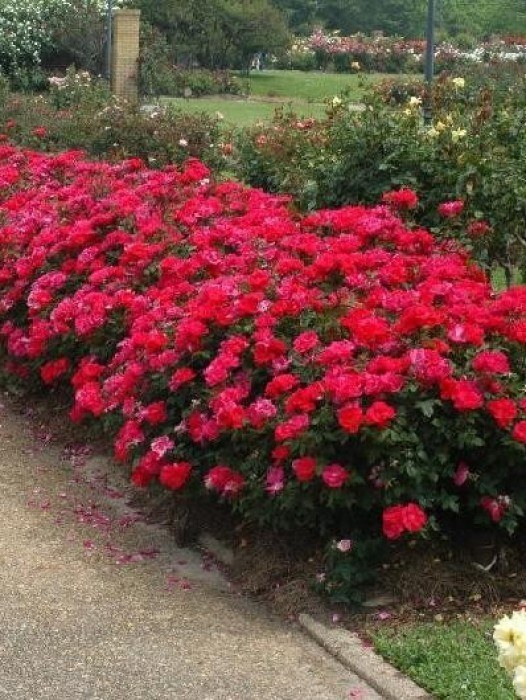 Double Knockout Rose