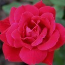Closeup of Knockout Rose