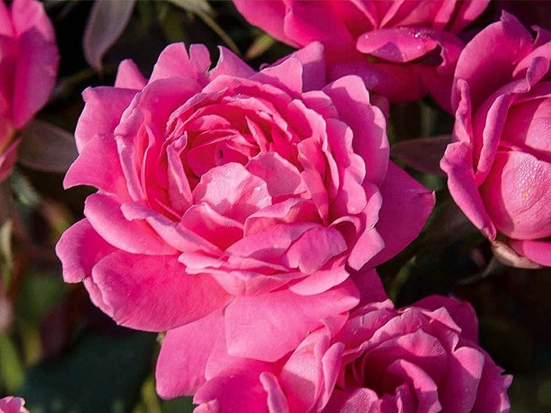Double Pink Knockout Rose The Tree Center