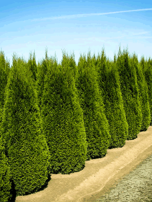 Evergreen privacy trees for sale the tree center for Trees that stay small
